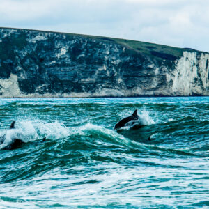 Dolphin Picture Peveril Point