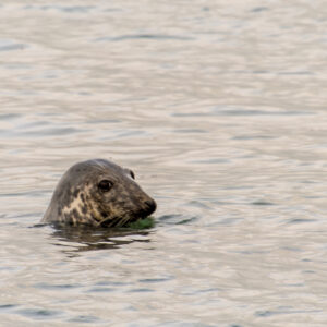 Seal Picture Swanage Bay