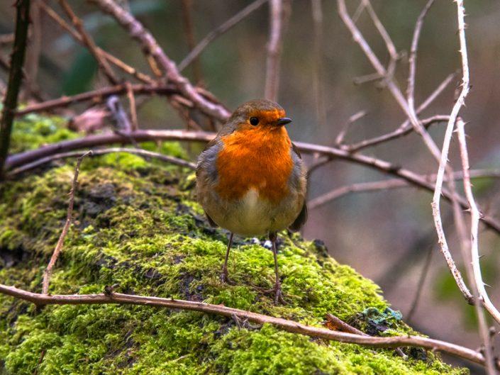 Robin in tree Hamworthy Park